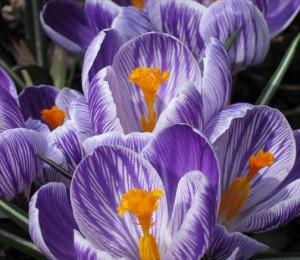 Crocus fleur