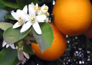 Huile essentielle d'Orange douce avis