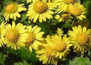 Chrysanthellum propriétés médicinales