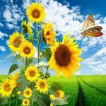 Tournesol, graines & huile : les bienfaits