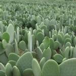 Nopal, le cactus puissant pour induire la satiété