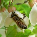 Miel de fleurs d'Acacia