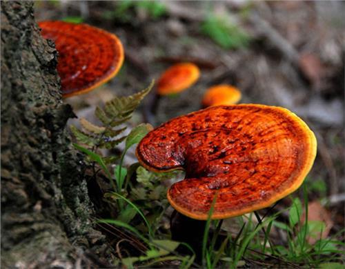 reishi-rouge-ganoderma