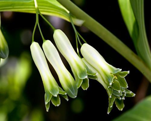 Sceau de salomon odorant bienfaits propri t s posologie effets secondaires - Plante a la gomme ...