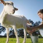 Lait de chèvre bienfaits santé ?