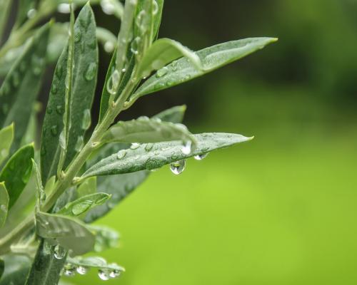 Extrait de feuilles d'olivier
