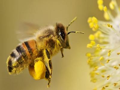 Abeille & pollen
