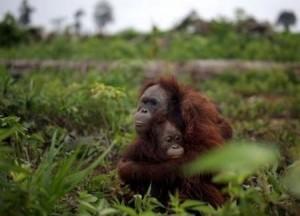 Huile de palme et faune sauvage