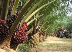 Huile de palme et palmiers à huile