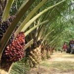 Huile de palme : scandale écologique et alimentaire ?