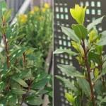 Infusion de laurier, feuilles, fleurs & baies