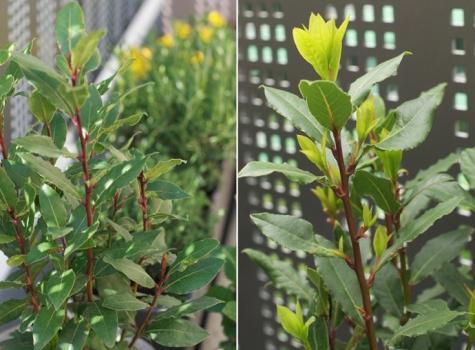 infusion de laurier feuilles fleurs baies bienfaits propri t s posologie effets secondaires. Black Bedroom Furniture Sets. Home Design Ideas