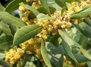 Tisane de fleurs de laurier