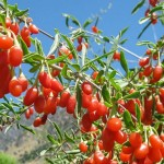 Baies de goji fraiches