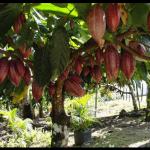 Cacao cru Criollo Bio