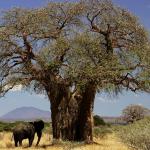 Fruit du Baobab en poudre, pourquoi utiliser ses bienfaits ?