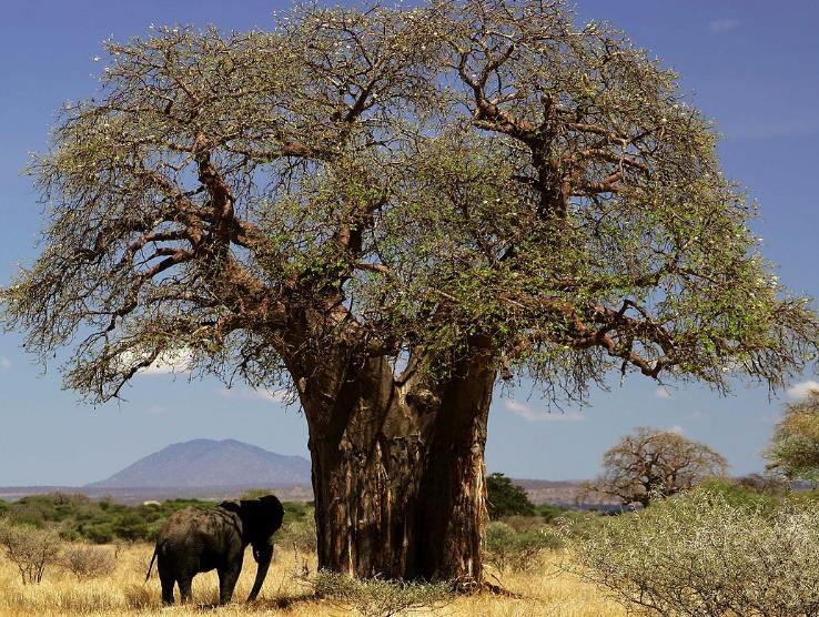Baobab, arbre
