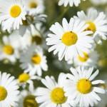 Pâquerette : petite fleur aux merveilleuses propriétés curatives