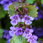 20 plantes médicinales comestibles poussant en pleine nature
