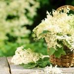 Infusion aux fleurs de sureau : médecine de guérison préhistorique