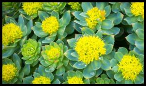 Rhodiole est ses très belles fleurs